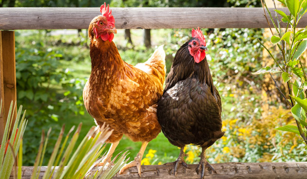 Kippen In De Tuin De Tuin Op Tafel