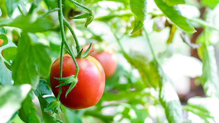 muggen_lokken_tomatenplant