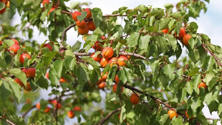 abrikozen boom