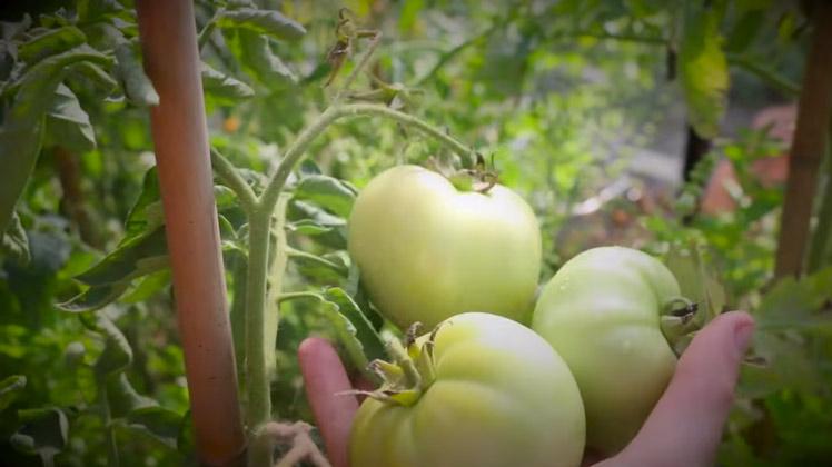 tomaten narijpen