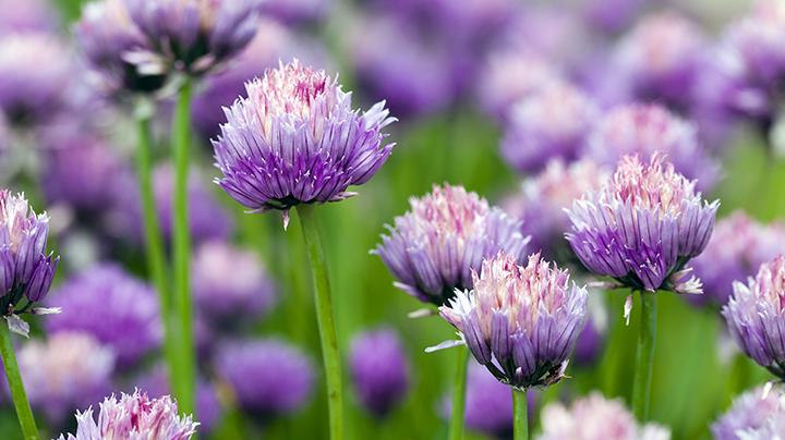 bloemen van bieslook