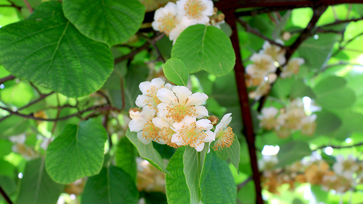 bloemen van kiwi