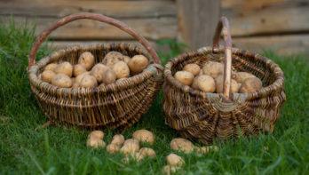 Aardappels voorkiemen in een eierdoos