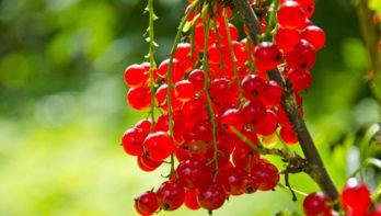 Tips voor aalbessen uit eigen tuin