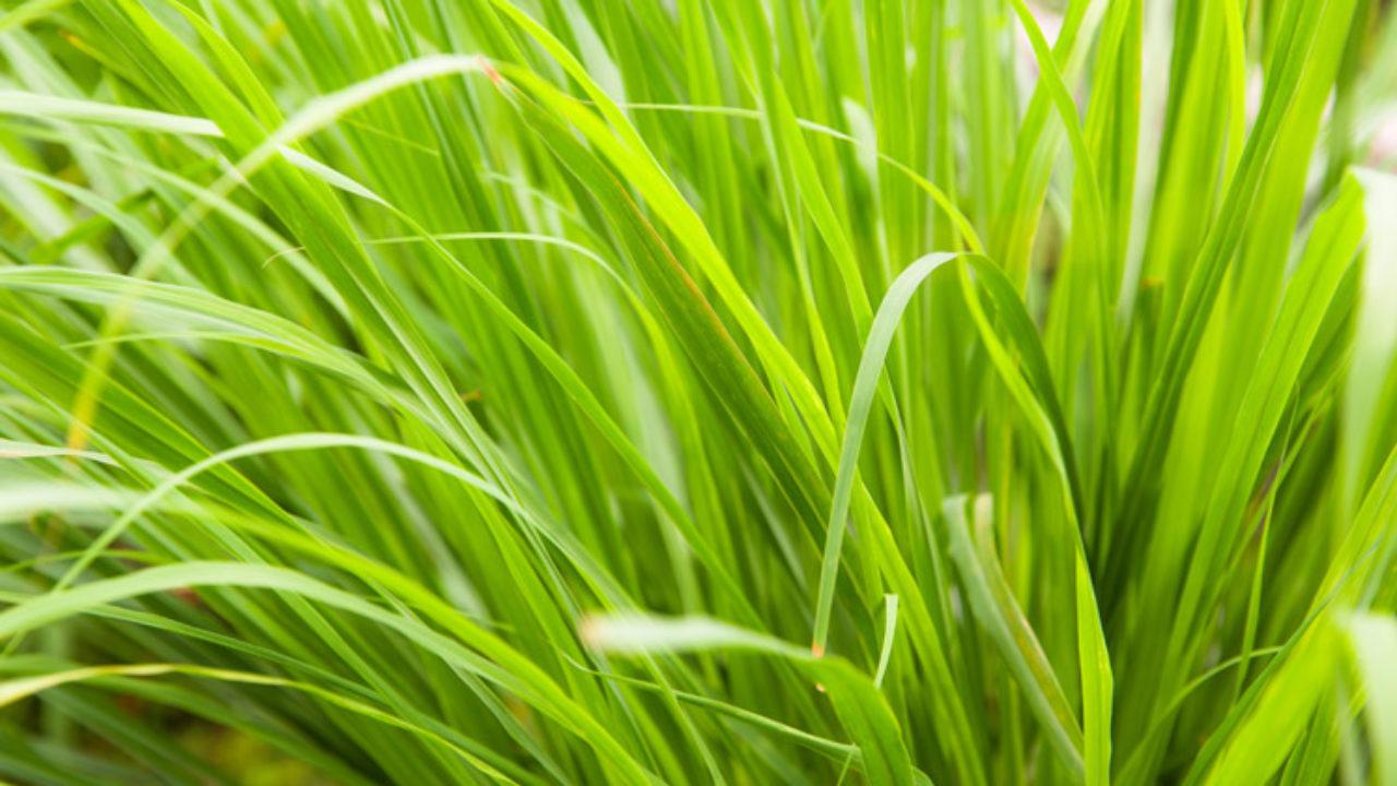 Citroengras kweken   De Tuin op Tafel