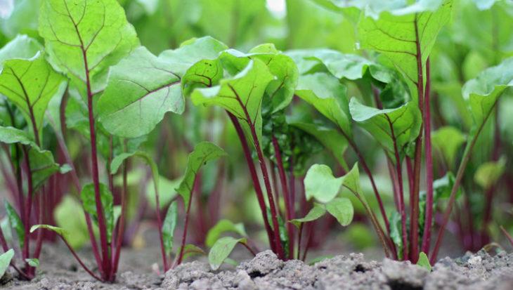 5 tips voor het kweken van rode bieten