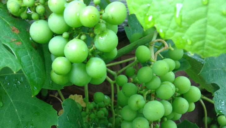 Druiven uitdunnen voor nog meer druiven