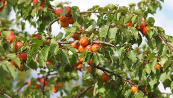 Tips voor abrikozen uit eigen tuin