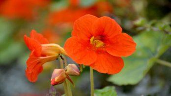 Eetbare bloemen kweken
