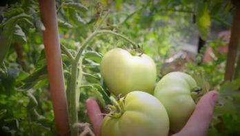 Tomaten binnenshuis narijpen