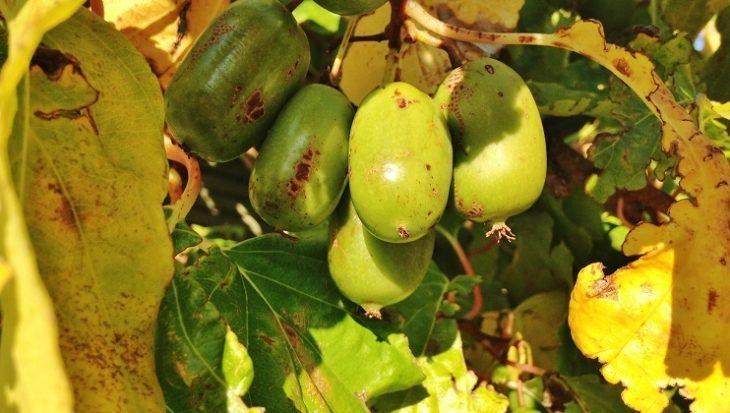 Kiwibes kweken