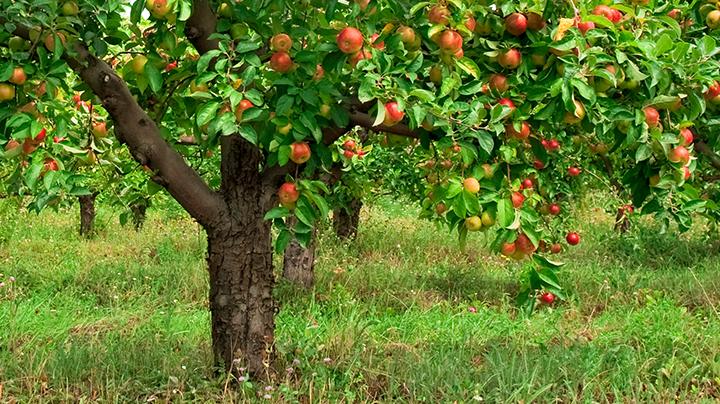 Wat groeit er onder fruitbomen?