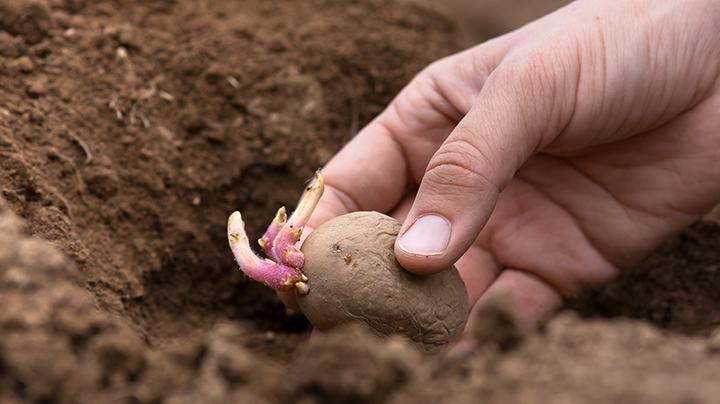 5 tips om aardappelen te poten