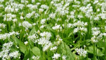Daslook of Allium ursinum