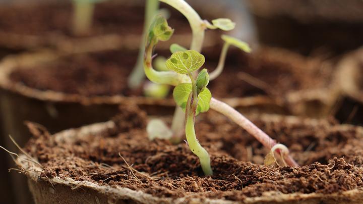 Knolcapucien planten