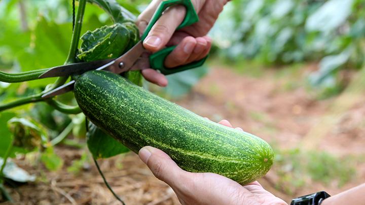 5 tips om komkommer te kweken