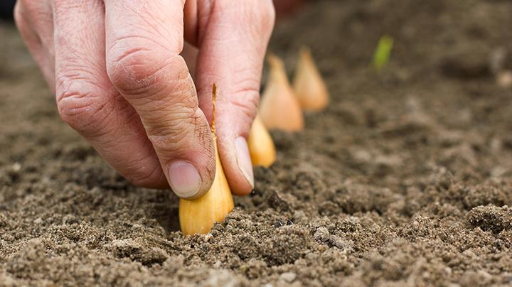Tips om uien te planten