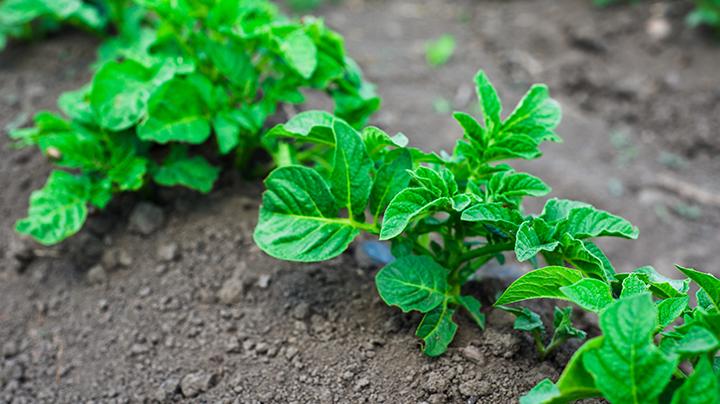 Late aardappelen planten