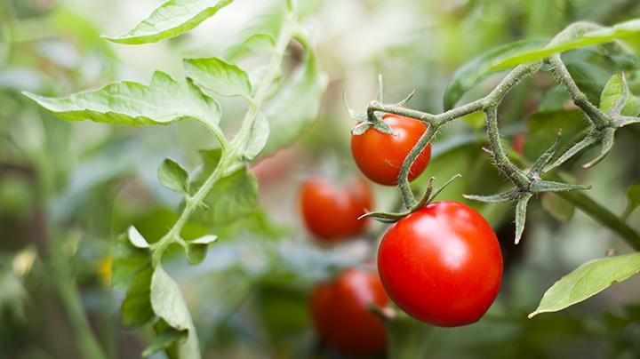 3 tips voor tomaten