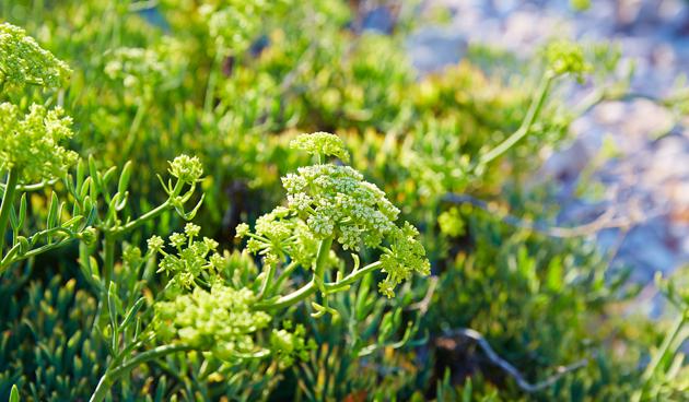 Zeevenkel (Crithmum maritimum) in de tuin
