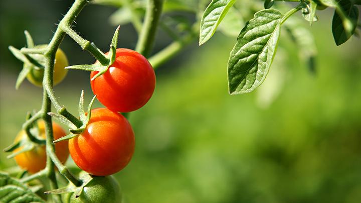 Tomaten: problemen en oplossingen