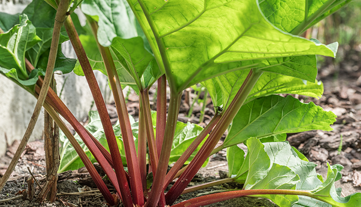 Nu doen: rabarber planten