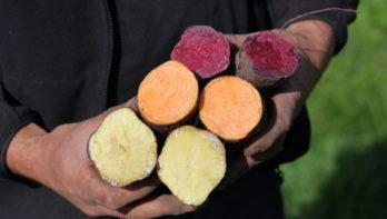 De beste zoete aardappelrassen voor ons klimaat
