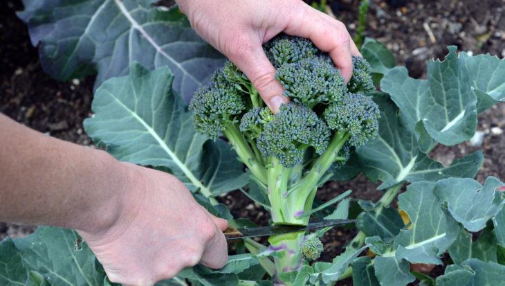 3x broccoli: groen, winter en vast